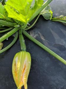 Fisher Hill Farm Local Zucchini