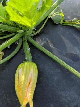 Fisher Hill Farm Local Zucchini